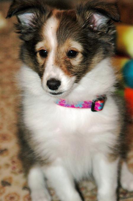 Brandi the Shetland Sheepdog Pictures 574164