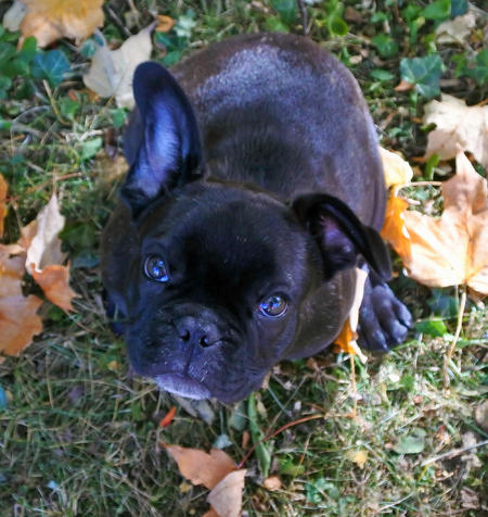 Brando the French Bulldog Pictures 1047293