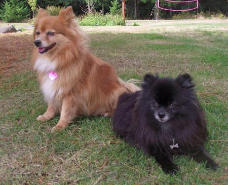 Brandy the Pomeranian Mix Pictures 954455