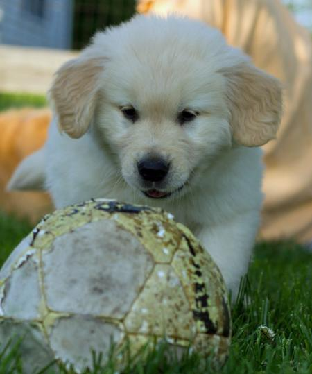 Breaker the Golden Retriever Pictures 822515
