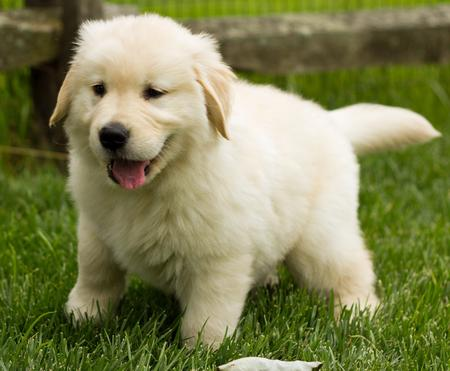 Breaker the Golden Retriever Pictures 822517