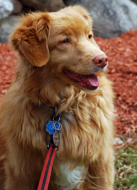 Breeze the Nova Scotia Duck Tolling Retriever Pictures 717524