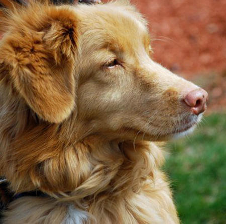 Breeze the Nova Scotia Duck Tolling Retriever Pictures 717522