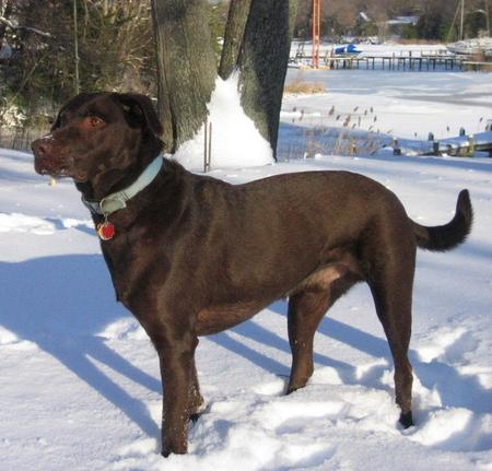 Briar the Labrador Retriever Mix Pictures 553183