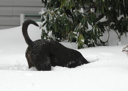 Briar the Labrador Retriever Mix Pictures 553184