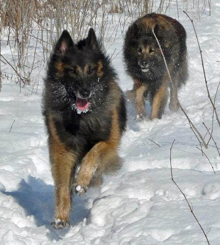 Brice the Belgian Tervuren Pictures 715159