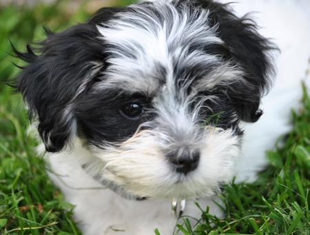Brie the Havanese Pictures 794797