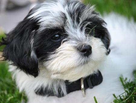 Brie the Havanese Pictures 794799