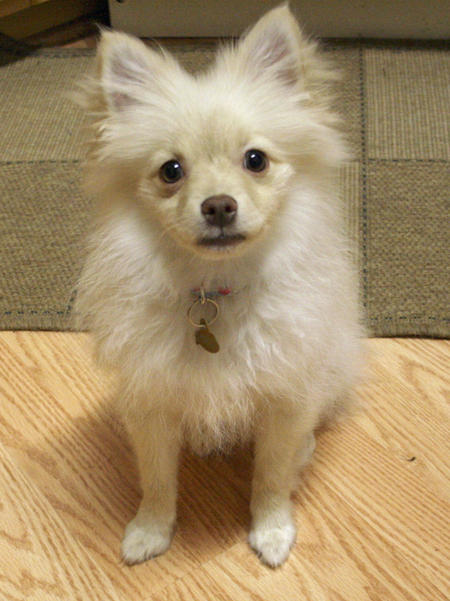Brie the Pomeranian Pictures 1025585