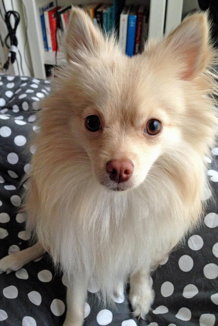 Brie the Pomeranian Pictures 1025586