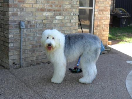 Britz Sky Walker the Old English Sheepdog Pictures 888907