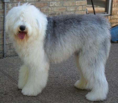 Britz Sky Walker the Old English Sheepdog Pictures 888909
