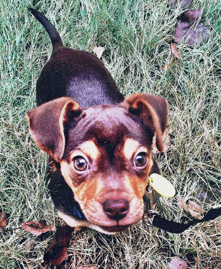Brock the Dachshund Mix Pictures 964277