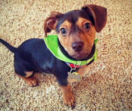 Brock the Dachshund Mix Pictures 964278