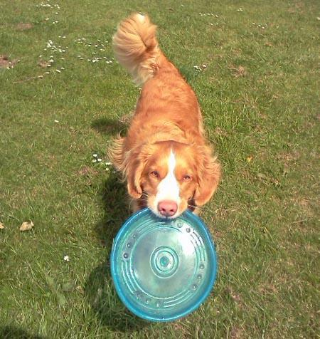 Brodie the Duck Tolling Retriever Pictures 947849