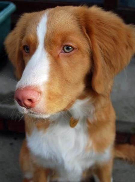 Brodie the Duck Tolling Retriever Pictures 947852