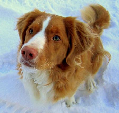 Brodie the Duck Tolling Retriever Pictures 947847