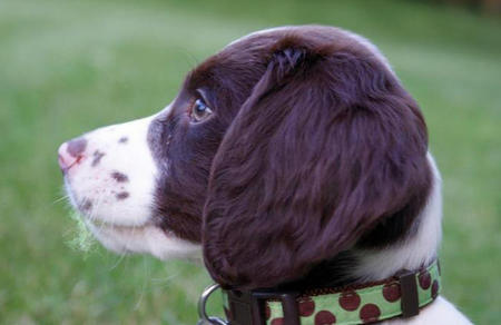 Brodie the English Springer Spaniel Pictures 924496