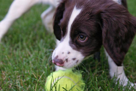 Brodie the English Springer Spaniel Pictures 924499