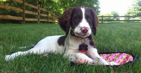 Brodie the English Springer Spaniel Pictures 924500