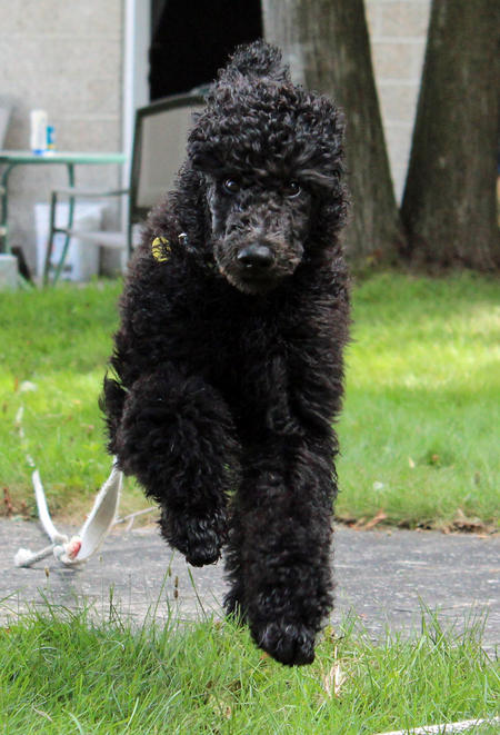 Brodie the Poodle Pictures 1008398