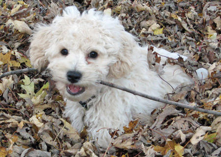 Brody the Cockapoo Pictures 789473