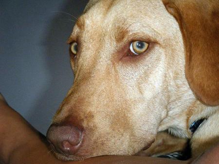 Brody the Labrador Retriever Pictures 911554