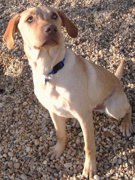 Brody the Labrador Retriever Pictures 911555