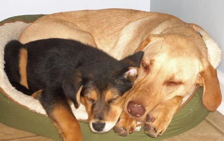 Brody the Labrador Retriever Pictures 911556