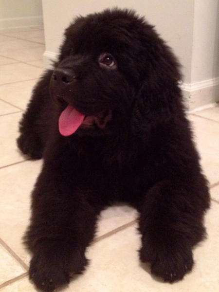 Brody the Newfoundland Pictures 953538