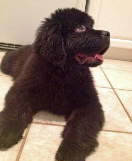 Brody the Newfoundland Pictures 953539