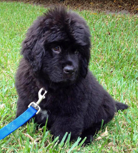 Brody the Newfoundland Pictures 953540
