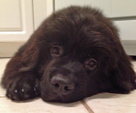 Brody the Newfoundland Pictures 953541