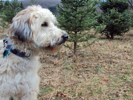 Brogan the Soft Coated Wheaten Terrier Pictures 860235