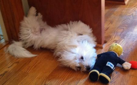 Bruce the Maltese Mix Pictures 850537