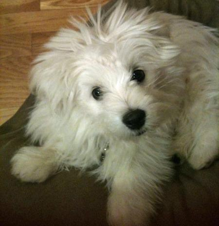 Bruce the Maltese Mix Pictures 850536
