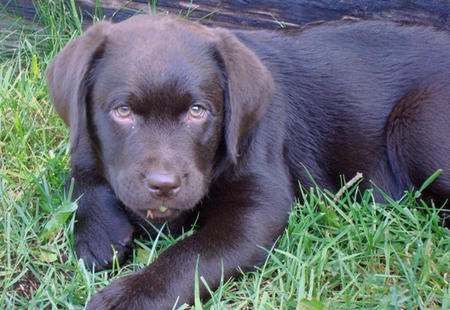 Bruin the Labrador Retriever Pictures 404328