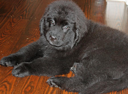 Bruin the Newfoundland Pictures 1051917
