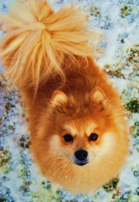 Bruiser the Pomeranian Pictures 515314