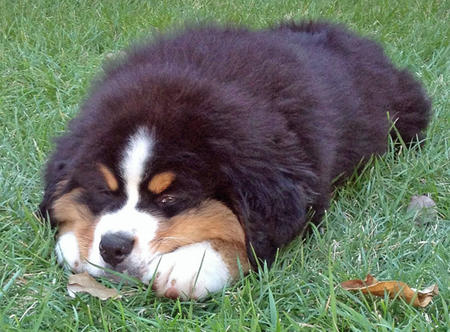 Bruno the Bernese Mountain Dog Pictures 963105