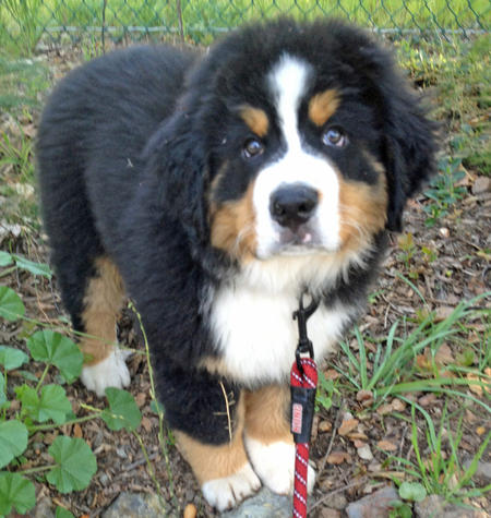Bruno the Bernese Mountain Dog Pictures 963106