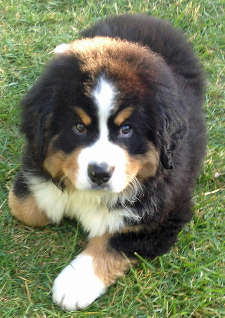 Bruno the Bernese Mountain Dog Pictures 963108