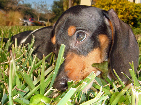 Brutus the Dachshund Pictures 709691
