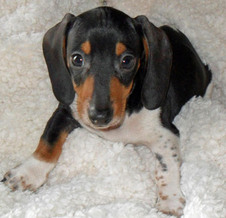 Brutus the Dachshund Pictures 709685