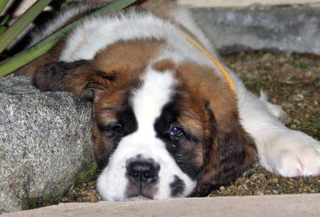Bubba the Saint Bernard Pictures 841326