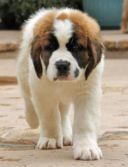 Bubba the Saint Bernard Pictures 841330
