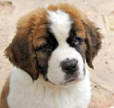 Bubba the Saint Bernard Pictures 841331