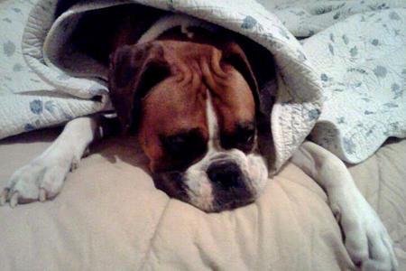 Bucca Junior the Boxer Pictures 1040474