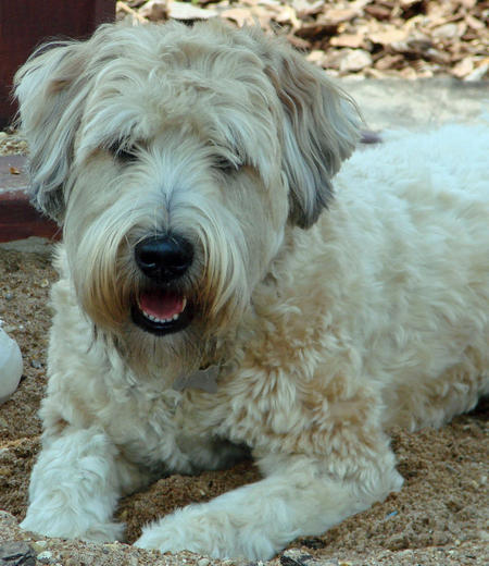 Buckeye the Wheaten Terrier Pictures 538698
