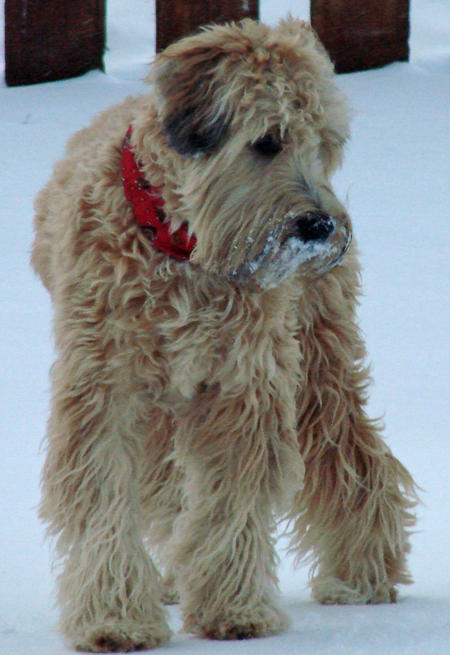 Buckeye the Wheaten Terrier Pictures 538699